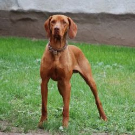 Show Me Pictures Of Vizsla Dogs